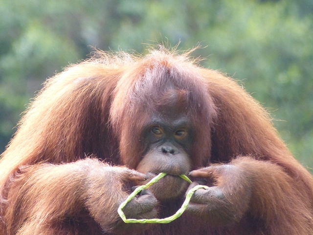 Orang Utan im Rehabilitationscenter