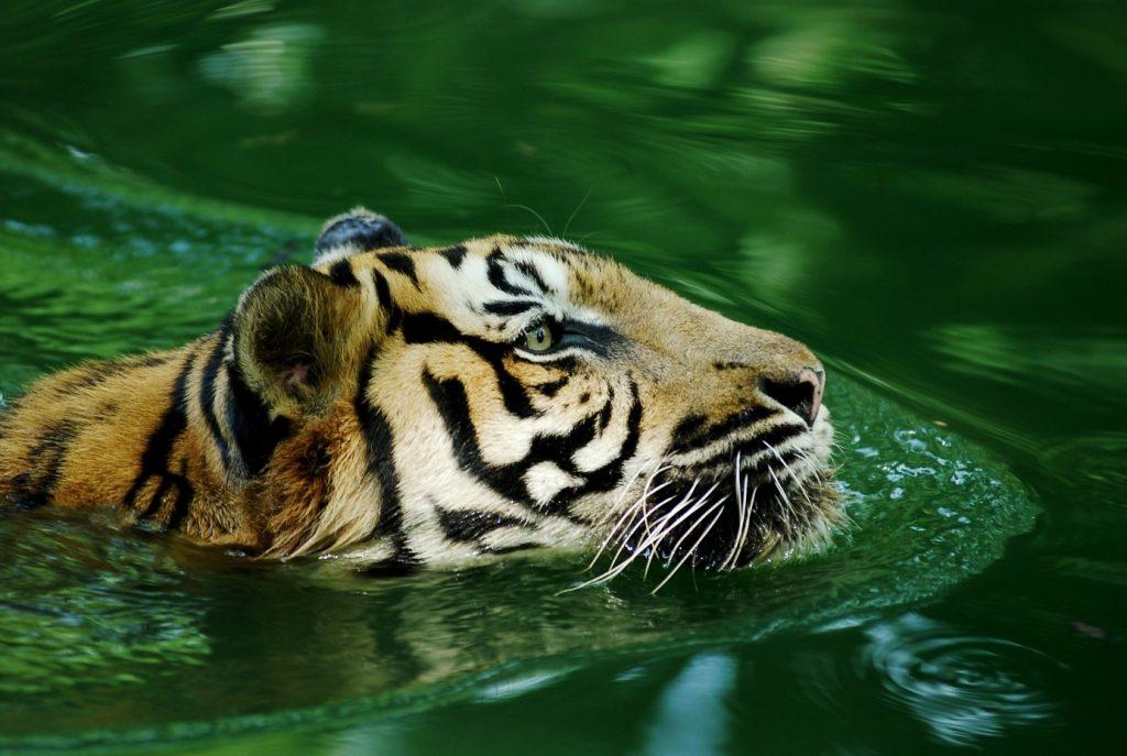 Steckbrief: Der Malaysia Tiger