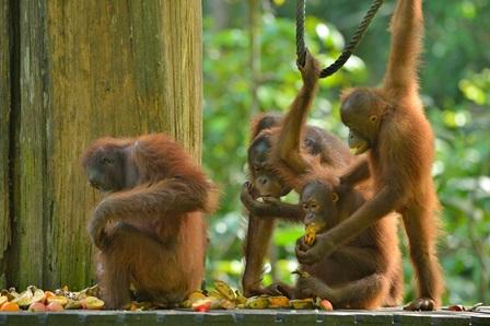 Malaysia im Spotlight: Sepilok Oran-Utan Rehabilitation Centre